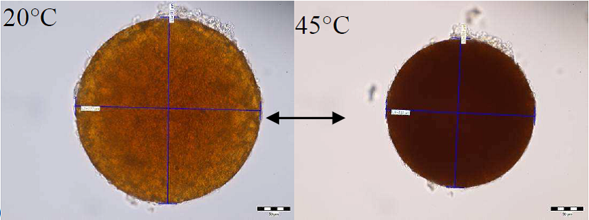 The swollen and shrunken state of PNIPAM microparticle (scale bar is 50 µm).