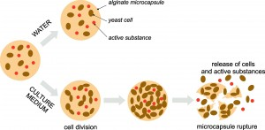 Schematic principle of microcapsule rupture and release of submicrometre objects into the environment caused by yeast cell growth in the culture medium. In water microcapsules are stable and no release of cells neither active substance occurs.